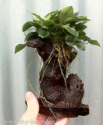 Mbuna Anubias Nana Bogwood Rare Tropical Live Aquarium Fresh Plant *STUNNING * 3