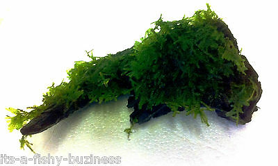 Christmas Xmas Moss on 15cm Bog Wood Tropical Cold Aquarium live Plant Co2 # 2