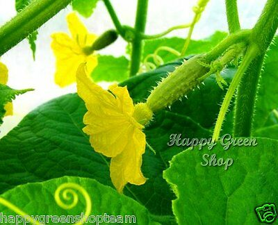 VEGETABLE - CUCUMBER GHERKIN F1 - 100 SEEDS pickler for early pickling Cornichon 2