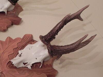 3 CORNAMENTAS DE CIERVOS Venado Trofeos caza Regalo Idea decoración #22.499 4