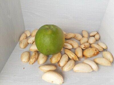 Excelente poder de germanización CASIMIROA EDULIS semillas de Zapote Blanco