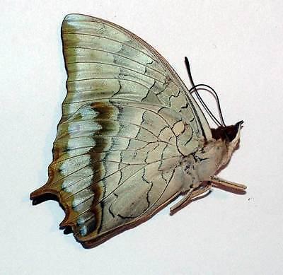 Bộ sưu tập cánh vẩy 4 - Page 20 CHARAXES-PLATENI-unmounted-butterfly-_1