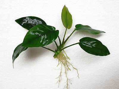Anubias Barteri Nana Loose Rhizome APF® Live Aquarium Plants Fresh BUY2GET1FREE* 2