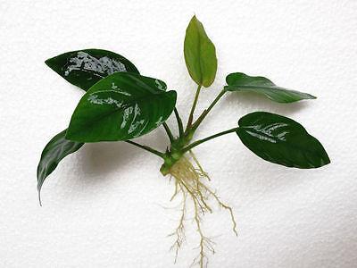 Anubias Golden Nana Loose Rhizome Barteri Live Aquarium Plants BUY2GET1FREE*