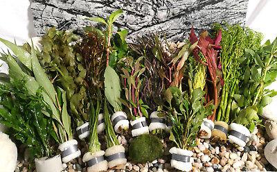 Aquariumpflanzen Set 15XXL Bunde, Aquarienpflanzen, Wasserpflanzen, Dicke Bunde 2