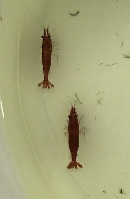 5 Red Cherry Shrimp (Painted Fire Red) Neocaridina 3
