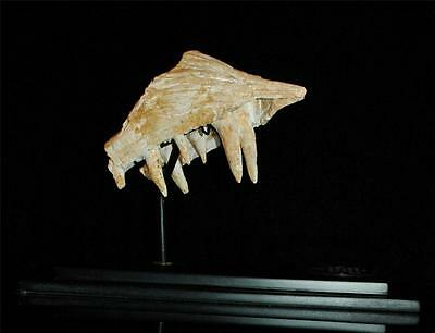 Enchodus Lybicus Fossil Jaw Snout With Tooth From Morocco On Stand #en3 4