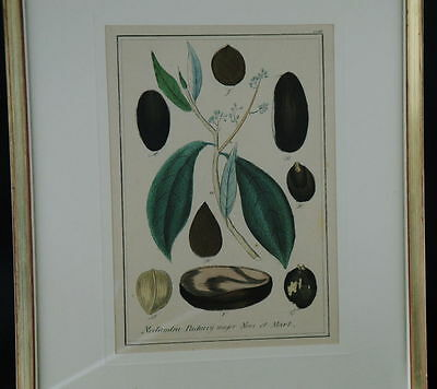 Handkolorierter Kupferstich. Um 1850 Nectandra Puchury major Nees et Mart. 7