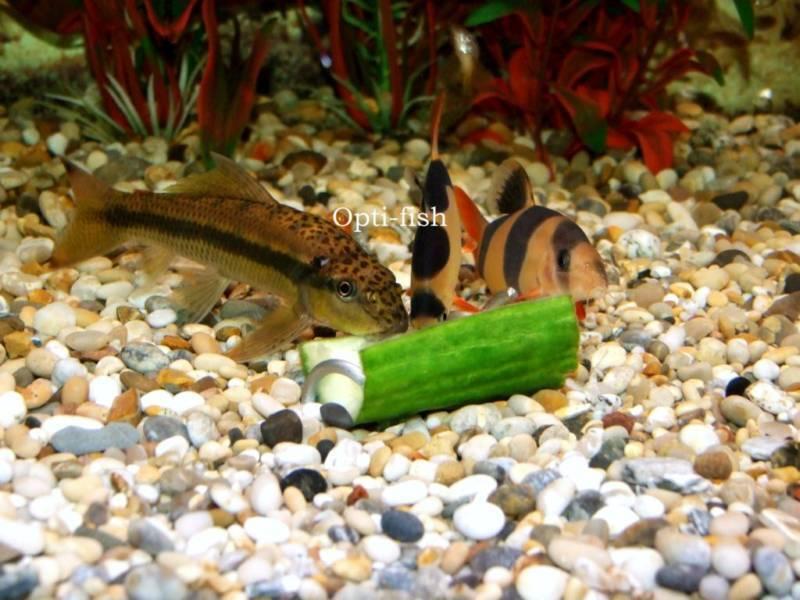 Opti-Fish Screwcumber - Malawi Cichlid Feeder - Two Year Warranty Free Uk Del! 2