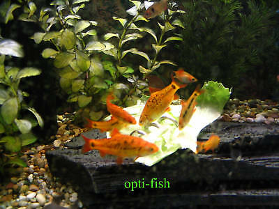 SCREWCUMBER TWIN PACK, FEEDER/WEIGHT FOR PLECS, LOACHES, MALAWI CICHLIDS,  etc 4