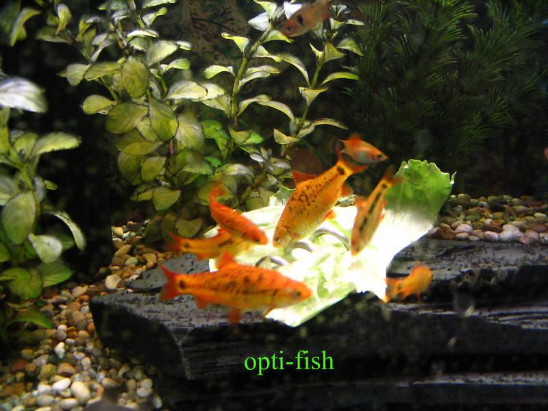 Opti-Fish Screwcumber - Malawi Cichlid Feeder - Two Year Warranty Free Uk Del! 3