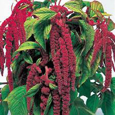 Love Lies Bleeding 100+ Seeds Organic Newly Harvested