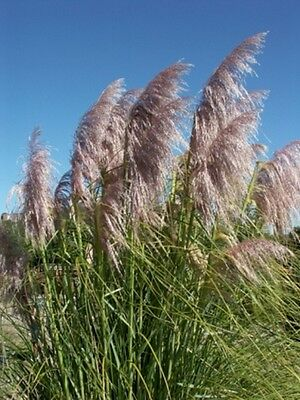 Cortaderia selloana Pink Feather (Pampas Grass) - 50 seeds.  Easy to grow.