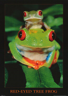 Poster : Animals : Red-Eyed Tree Frogs  - Free Shipping !  #ph0023  Rw9 R