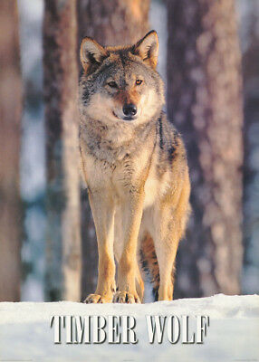 POSTER :  TIMBER WOLF by PETER LILJA    FREE SHIPPING !   #PE1120      RC47 U