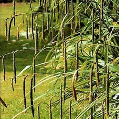 Carex pendula (Pendulous Sedge) - 30 seeds. Very easy to grow. Loves shade.