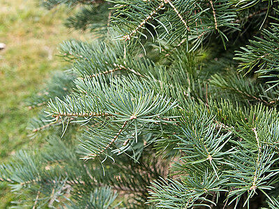 Abies concolor (White Fir) - 25 seeds.  Majestic conifer with blue green foliage