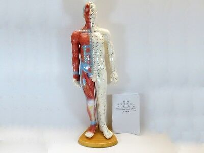 "Professional Educational Acupuncture Muscle 22"" Male 55cm Anatomy Medical Model"