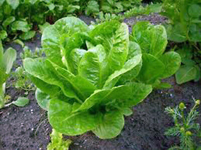 Lettuce, Butterhead Buttercrunch, Heirloom, Organic 25+ Seeds, Delicious Greens