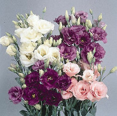 Echo Series Lisianthus 25 Seeds Per Pack They Are Stunning Beautiful Cut Flower