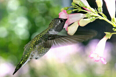 close-up HUMMINGBIRD GOING FOR NECTAR poster beak bright beating WINGS 24X36