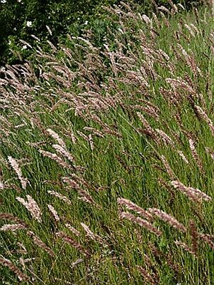 Melica transsilvanica Red Spire - 25 seeds. Striking Specimen Grass Up To 6ft!