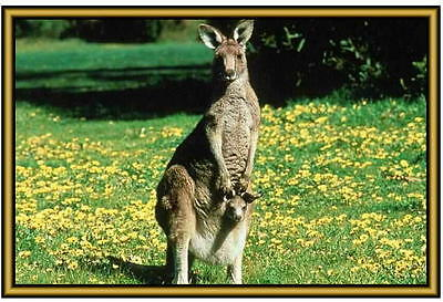 Kangaroo Photographs  - New - Fridge magnets - .