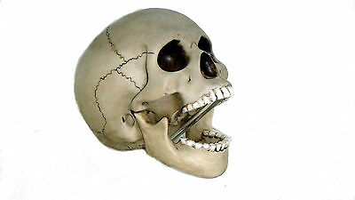 REALISTIC SKULL WITH MOVABLE JAW!!!