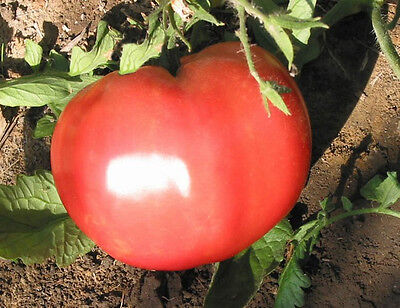 TOMATO Ponderosa PINK 35 seeds garden vegetable HEIRLOOM NON GMO open polinated