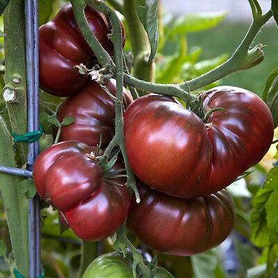 TOMATO Black Krim 30 seeds Organic Heirloom hardy vegetable garden NON GMO