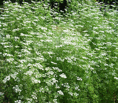 Anise 120 seeds medicinal and culinary Herb garden Licorice