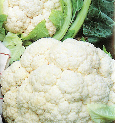 CAULIFLOWER All Year Round  75 seeds vegetable garden NON GMO open polinated