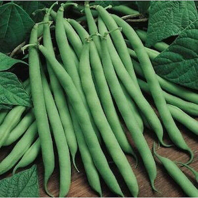 BEAN 'Blue Lake' vegetable garden 30 seeds climbing Heirloom Non Gmo