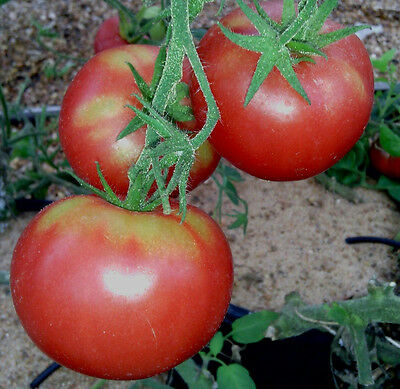 TOMATO Mana Lucie 30 seeds vegetable garden Italian Heirloom prolific NON GMO
