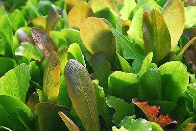 MESCLUN 'Hot Mix' Salad vegetable garden120 seeds