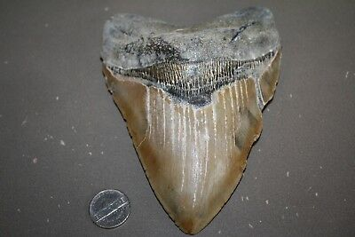 "MEGALODON Fossil Giant Shark Tooth All Natural Large 5.87 "" HUGE BEAUTIFUL TOOTH"