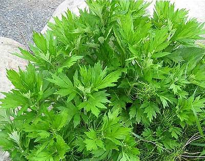 MUGWORT 350 seeds medicinal herb garden Repels insects unusual