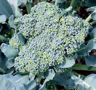 Broccoli, Green Sprouting Calabrese,heirloom, Organic 25+ Seeds, Broccoli Seeds