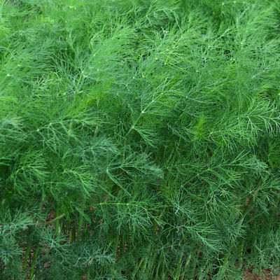 DILL culinary Herb garden 200 seeds NON GMO open polinated