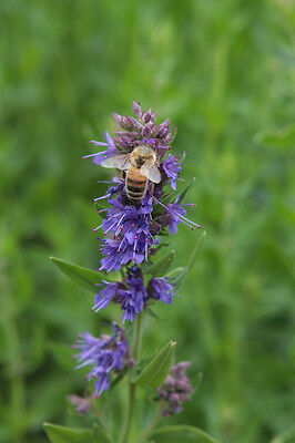 HYSSOP 60 seeds culinary herb garden  (attracts beneficial insects)