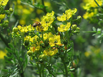 RUE 30 seeds culinary herb garden insect repellant