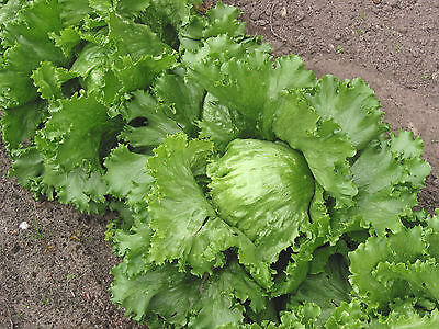 LETTUCE 'Iceberg' 200 seeds Heirloom vegetable garden salad