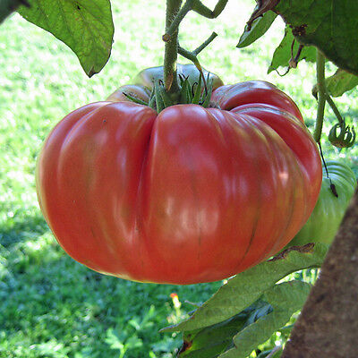 TOMATO Brandywine Amish HEIRLOM 25 seeds vegetable garden NON GMO