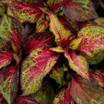 Coleus Rose To Lime 15 Seeds Light Up Your Landscape And Watch The Colors Change