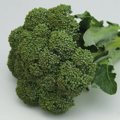 BROCCOLI  'Green Sprouting' Calabrese 125 seeds vegetable garden