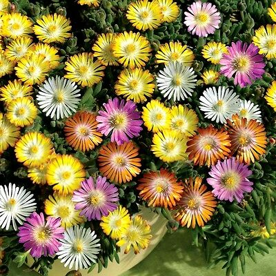 Ice Plant Mixed Color 2000 seeds mesembryanthemum *LIVINGSTONE DAISY* CombSH B71