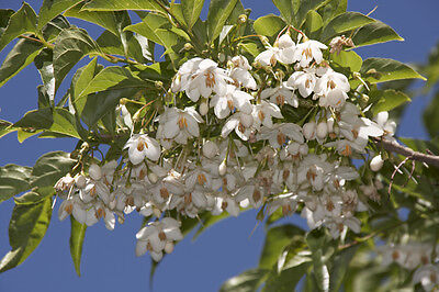 Styrax japonica (Japanese Snowbell) - Beautiful, Small Flowering Tree - 10 seeds