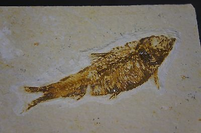 55 Million Year Old Fish Fossil From Green River Formation In Wyoming
