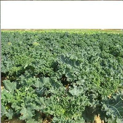 KALE 'Dwarf Blue Curled' 160 seeds vegetable garden plant NON GMO open polinated