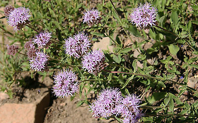 Pennyroyal  Herb garden 'Insect Repellant' 150 seeds